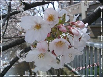 2010_0401_sakura01
